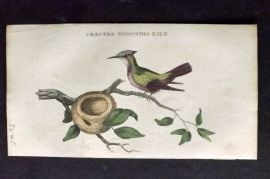 Brightly (Pub) 1815 Hand Col Bird Print. Crested Hummingbird with Nest